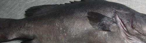 Mero gris del Cantábrico